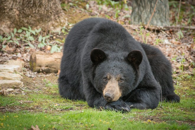 Great Smoky Mountains National Park, a black bear sanctuary, is home to nearly 2,000 bears, like this one.