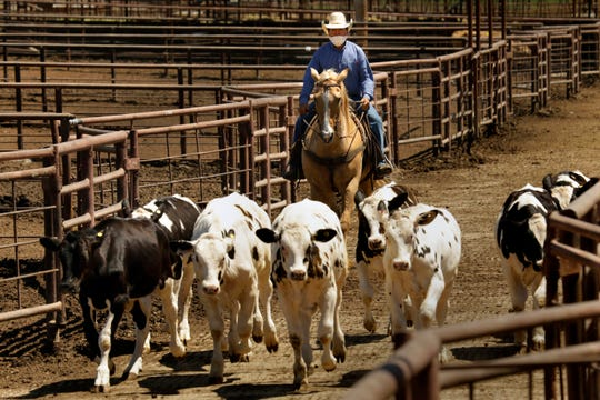 Feeder cattle are moved into the Overland Stockyard Auction House holding area in Hanford, California.
