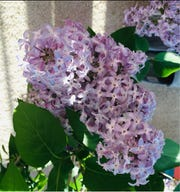 Lilacs spread their nostalgic scent into the air during this unique spring.