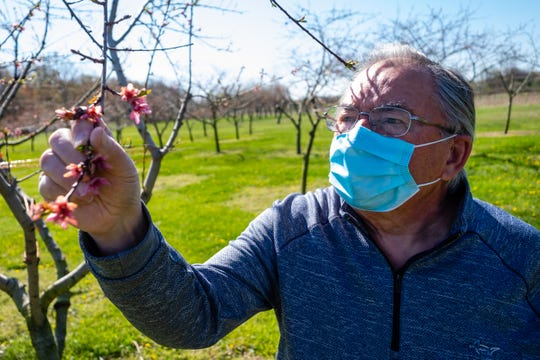 Ken Dambacher, who owns Speaker Lone Oak Orchard with his wife Darlene, looks at a budding peach tree Wednesday, May 13, 2020, in Melvin, ahead of this year's farmer's markets. This year, farmer's markets will be requiring people to comply with social distancing rules, and many are putting a limit on displays.