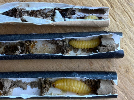 Larvae of native Missouri bees are seen growing inside the paper tubes that are the key to the Beestra nesting box.   Different-sized tubes will attract different species of native bees.