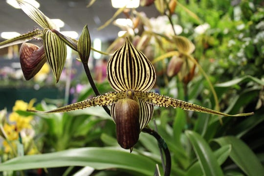 Paphiopedilum growing in the living room