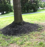 """An improper mulching technique referred to as """"volcano mulching"""" holds excess moisture and encourages trunk rot."""