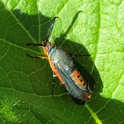 In Florida, May is the month you will start to see squash vine borer adults around your squash plants.