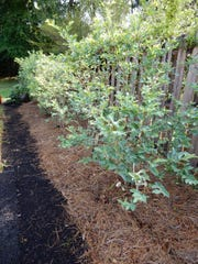 Pine mulch around blueberry plants helps control weeds and provides an acidic environment for the blueberries.
