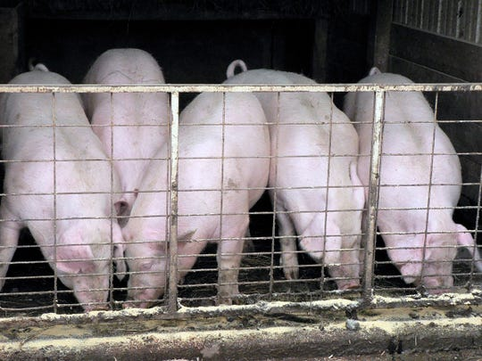 Who is going to process all the pigs ready for market?
