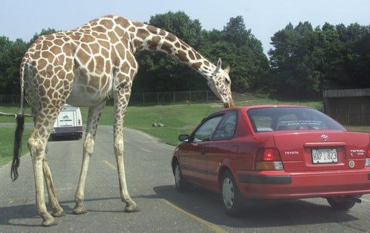 A giraffe peaks inside a car at Six Flags Great Adventure's drive-through safari, which closed in 2012.