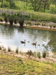 A reader sent in this photo of geese and goslings at the Highland Farms Retirement Community in Black Mountain.