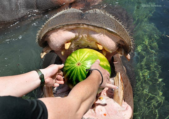 Bibi the hippo is about to chomp down on a watermelon at the Cincinnati Zoo and Botanical Garden.
