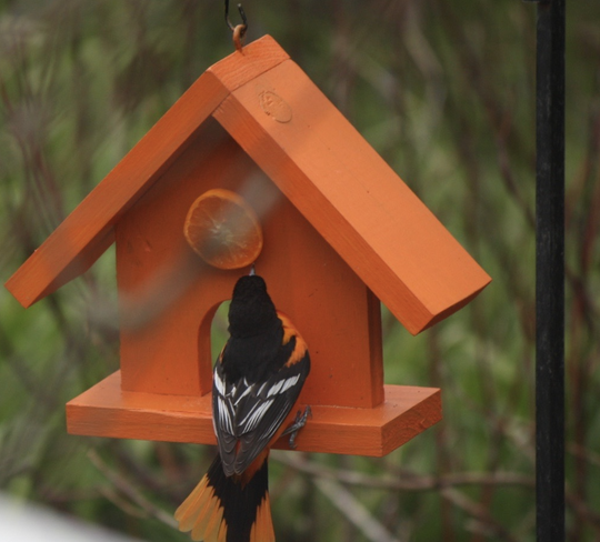 A Baltimore oriole — one of the large cast of characters in Distant Days columns.