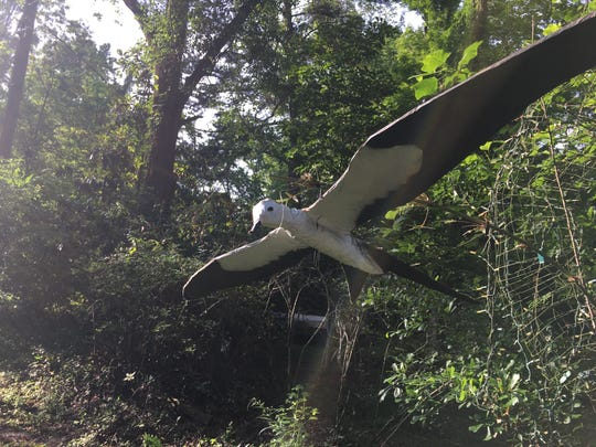 Susan Cerulean, an Indianhead neighbor of Norine Cardea, has composed a shrine of several life-size replicas of her favorite bird, the swallow-tailed kite.
