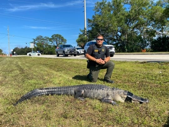 Sgt. Fletcher McClellan, with Indian River County Sheriff's Office, said around six vehicles stopped on 49th Street, west of 58th Avenue, for the alligator, which he said snapped and hissed at some drivers who tried to move it from the road by its tail Tuesday, May 12, 2020.