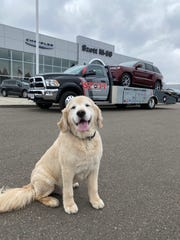 Szott Auto Group mascot Hank the golden retriever occasionally accompanies vehicles the company's flatbed delivers to new owners.