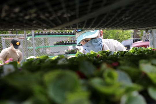 Camberly Gardens Owner, David Cavilla, looks at an order of plants and flowers he received on, Thursday.  Cavilla said less than half of what he ordered came in but that is not surprising during the pandemic. May 14, 2020