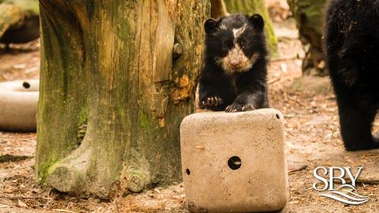 Sinchi, the Salisbury Zoo's newest Andean bear cub (April 2020)