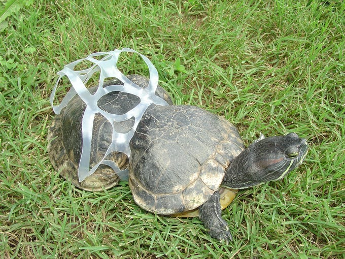 Peanut the red-eared slider turtle, after being found in 1993 with a plastic six-pack beverage ring squeezing her shell.