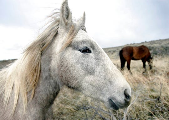 FILE - In this March 14, 2006, file photo, a herd of wild horses grazes near the Carson River in Carson City, Nev. Federal land managers say it will take 20 years and cost more than $1 billion over the first six years alone to slash wild horse populations to sustainable levels necessary to protect U.S. range land. (Chad Lundquist/Nevada Appeal via AP, File)