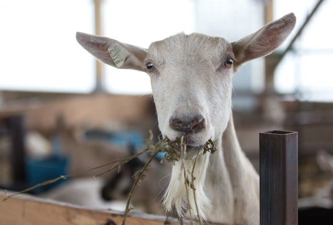 Dry doe nutrition is an important part of a successful dairy goat operation.