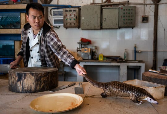 A man reaches for a pangolin that is about to be slaughtered and prepared for a meal in a restaurant on the outskirts of Guangzhou, China, on 4 January 2019. Pangolin meat at the restaurant sells for around US $376 per kilogram. This image, released by World Press Photo, Thursday April 16, 2020, is part of a series which won second prize in the Nature Stories category.