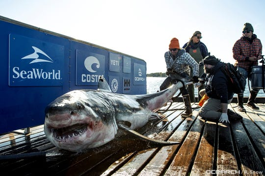 A great white shark named Ironbound is brought aboard OCEARCH's research vessel on the coast of Nova Scotia on Oct. 3, 2019.