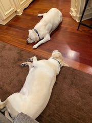 Mel Tucker has two dogs, English white labs named KJ and PJ, who spend many days at the feet of the Michigan State football coach as he works from home during the coronavirus.