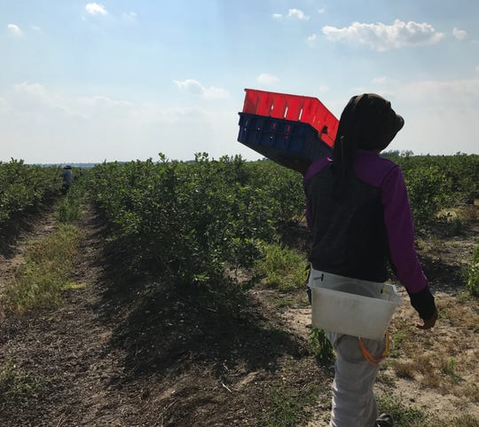A seasonal migrant worker in a blueberry field in Hammonton New Jersey