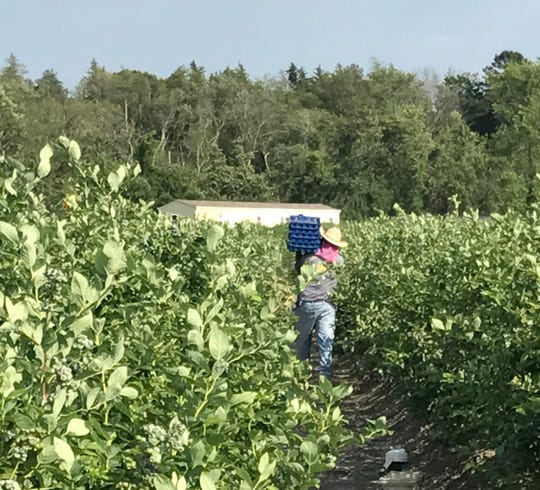"Blueberry picker in fields in Hammonton, New Jersey, known as the ""Blueberry Capital of the World.""  June 12, 2017."