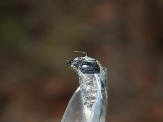 Side profile of female blue calamintha bee.