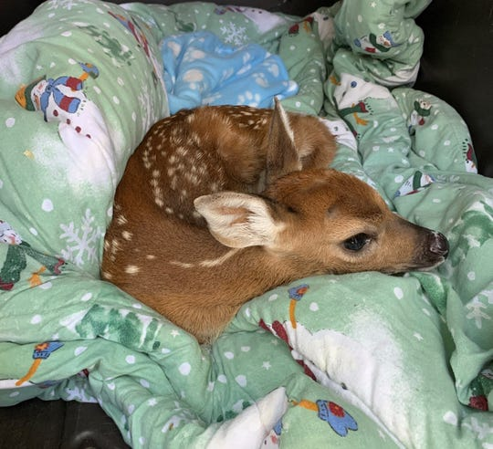 Motherless fawn rests at the South Jersey Regional Animal Shelter.