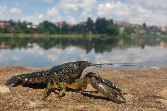 Marbled crayfish are named for the streaked or marbled appearance of the shell and claws.