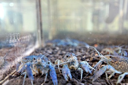 In captivity, marbled crayfish can exhibit a range of colors including blue or red. Most specimens found in the wild are olive to brown in color.