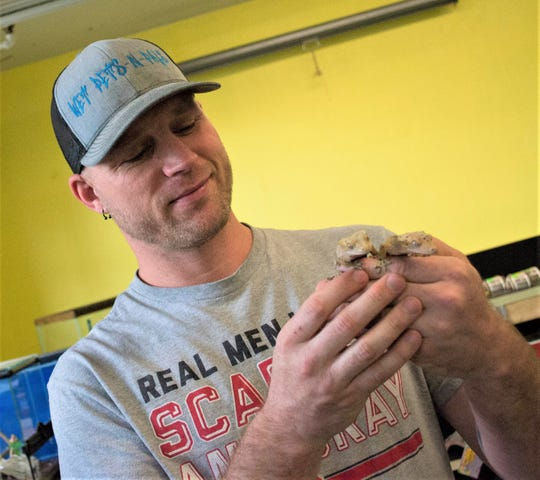 Dave Cornell handles two Dalmatian crested geckos inside the reptile room at Wet Pets-N-Pals. The pandemic slowed the expansion of the room, but it will eventually be filled with a variety of reptiles and the supplies needed to care for them.