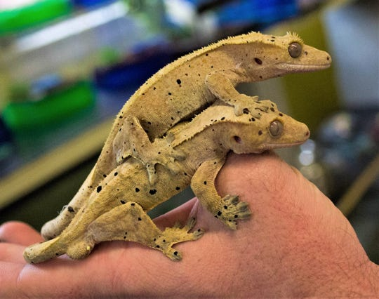 Two of the Dalmatian crested geckos available for purchase at Wet Pets-N-Pals. The shop sells a variety of geckos, iguanas, and bearded dragons.