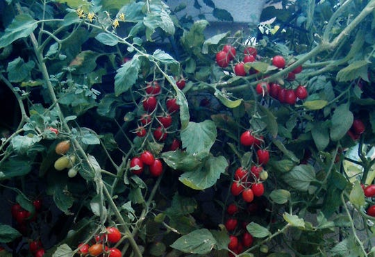 Red grape tomatoes grow in Celia Casey's garden in Gulf Breeze.