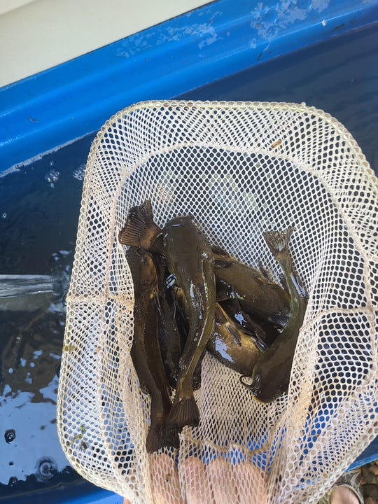 A tank full of bullheads for bait only comes after earning them on dark evenings with hook and line. Bullheads are one fish that has been lost as a target species over the past two generations of anglers.