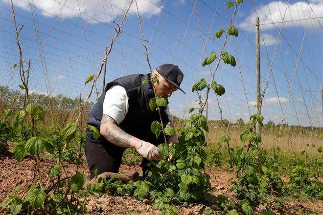 Seasonal worker James Wodyatt trains the growing hops by winding or tying two or three shoots clockwise to each string, at Stocks Farm in Suckley, Worcestershire. Britain's fruit and vegetable farmers have long worried that the exit from the European Union would keep out the tens of thousands of Eastern European workers who come every year to pick the country's produce.