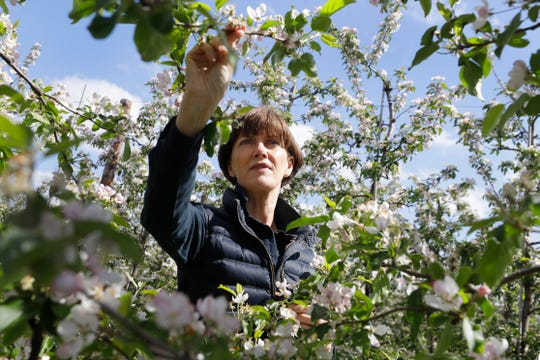 Ali Capper inspects the blossom on her apple trees at Stocks Farm in Suckley, Worcestershire. The coronavirus pandemic has kept out the tens of thousands of Eastern European workers who come every year to pick produce.