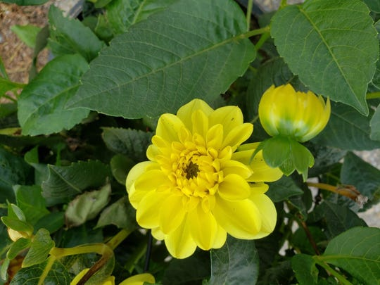 End of season yellow dahlia from 2019. Susan is hoping some of her dahlias return in 2020.
