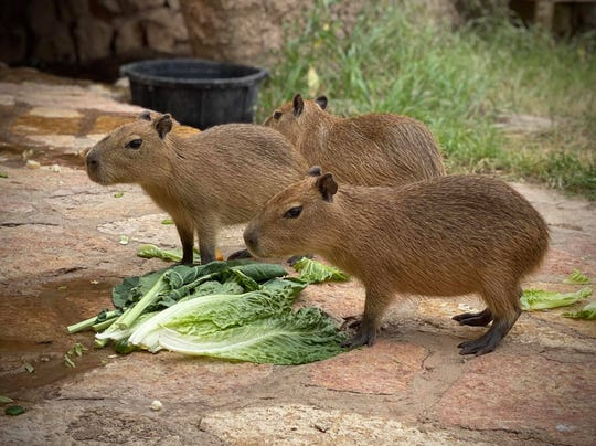 Capybaras are the newest residents of the Abilene Zoo.