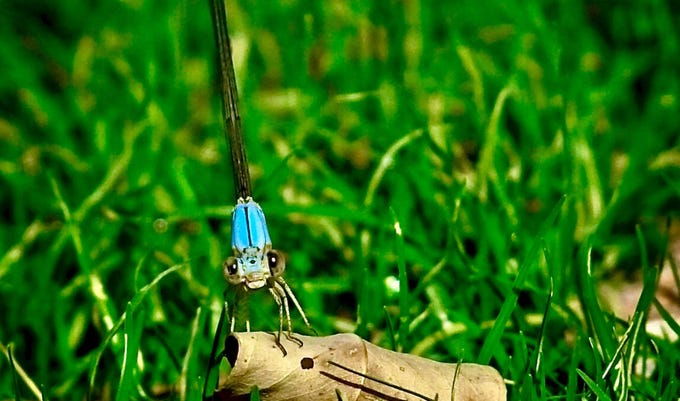 Since we were still under the Stay at Home order we had to find fun and colorful things to photograph in our own backyards.  This little dragonfly made a great subject as it cluttered around enjoying the cool grass.