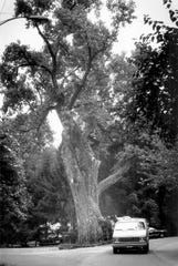 The Balmville tree on September 12, 1990.