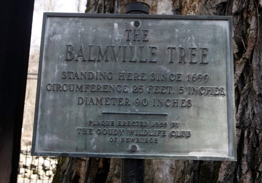 Historic plaque erected in 1959 at the base of The Balmville Tree in the Balmville section of Newburgh, NY home on Friday, March 27, 2009. The Garden Club of Orange and Dutchess Counties took cuttings from the The Balmville Tree to propogate them for the 100th. anniversary celebration of the Garden Club of America in 2013. The Balmville Tree is believed to be the area's oldest tree, estimated to date back to 1699 and has lived 3 -4 times longer than cottonwood trees normally live.