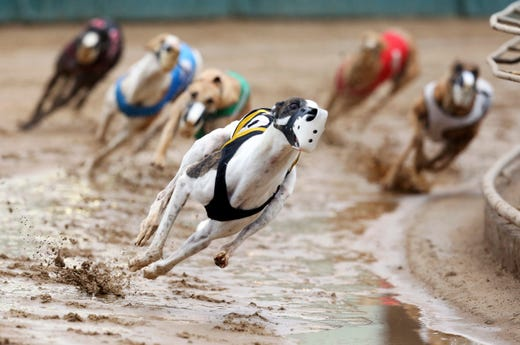 Greyhounds compete in a race at Iowa Greyhound Park in Dubuque, Iowa, Sunday, May 17, 2020. The race season started this weekend without spectators due to restrictions related to the COVID-19 pandemic.