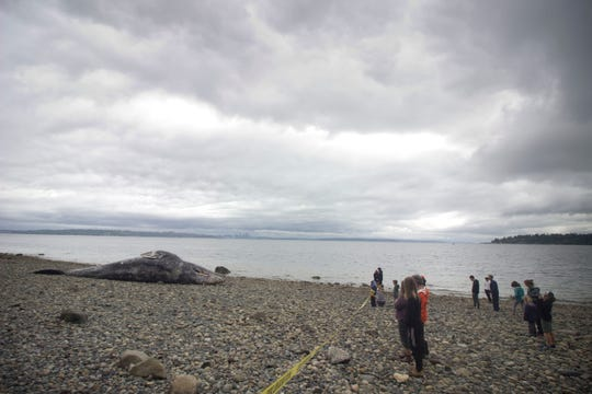People look on at a gray whale carcass that washed ashore on Bainbridge Island's Manitou Beach.