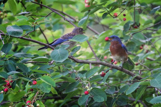 Having berry producing plants in the yard attracts numerous birds, like this adult male bluebird feeding a serviceberry berry to his fledgling.