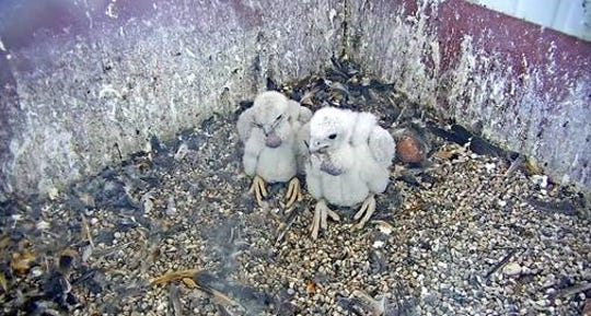Two peregrine falcon chicks in the nesting box at the Weston Power Plant in Rothschild.