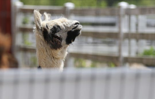 An alpaca looks at the procession of cars that gave kids an opportunity to get out for the day to see some of the farm's 200 animals as families drove through Brookhollow's Barnyard in Boonton on May 20, 2020.