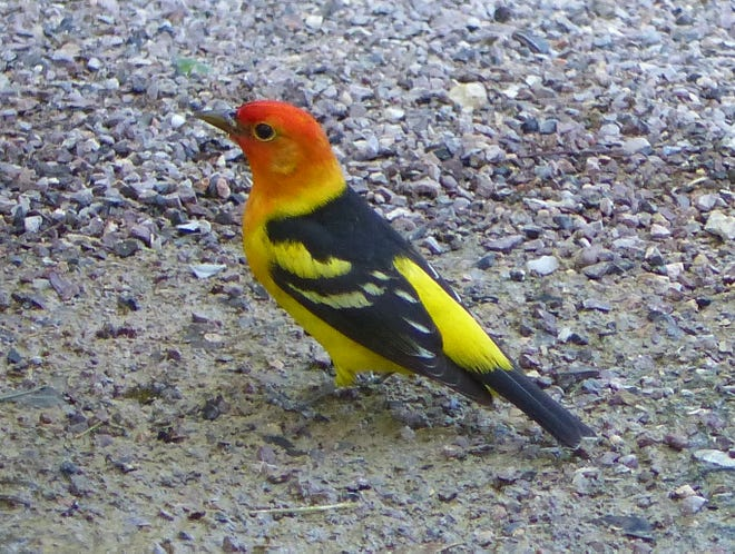 A stunning male western tanager approaches our birdbath for a drink.