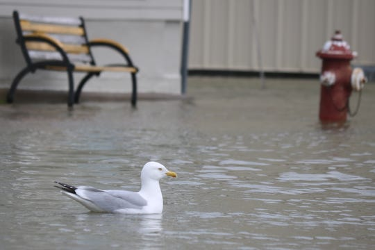 A seagull floats along northern Madison Street, much of which was under water again this week due to several days of rain topping off already high lake levels.
