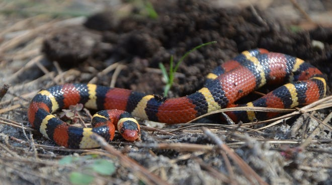 The scarlet king snake is a north Florida native, but is confused with a coral snake on too many occasions. Unfortunately, this frequently leads to the destruction of a harmless reptile.